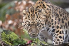 Amurleopard_LOW0880_960